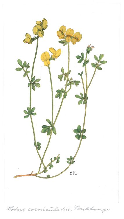 Lotus cornicalutus - Illustration by Dagny Tande Lid