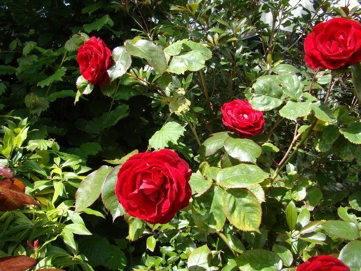 Roos/rose