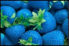 Hudson Blue Strawberry Seeds, Strawberry Plant Seeds, Strawberry Bush, Delicious New Color, Rngardens Seeds RNgardens http://www.amazon.com/dp/B00IVTW9BU/ref=cm_sw_r_pi_dp_hfOMtb0NFQYEEV78