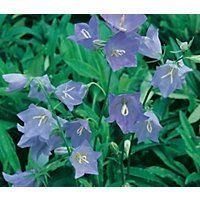 Peach-leaved Bellflower Blue