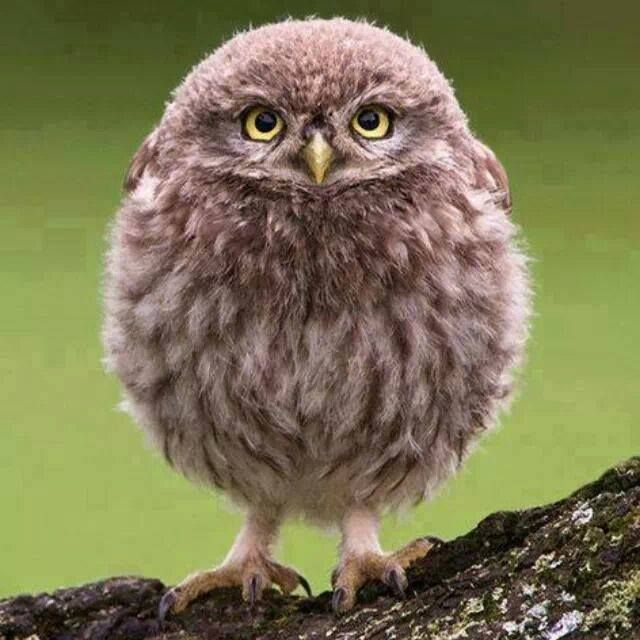 Fluffy Baby Owl