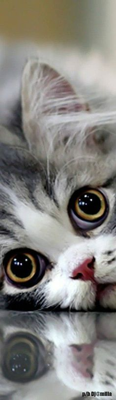 Bobtail cat.