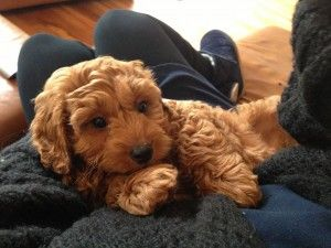 mini cavapoo full grown - Google Search