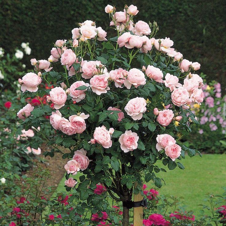 Роза розовое дерево фото и описание