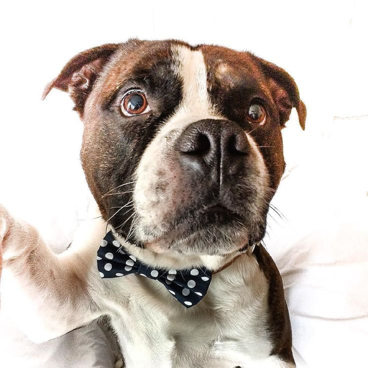 Mám nový motýlik tak som si urobil selfie - iba pre vás  motyliky pre psíky nájdete na shop.pesbruno.sk #pes #psik #panpes #pejsek #czechdog #slovakdog #madeinprague #dogbowtie #elegant #stylovypes #dogaccessories #chlpac #chlpatalaska #laska #selfie #sendadogphoto #handmade #pesbrunosk #followme  by pesbrunosk