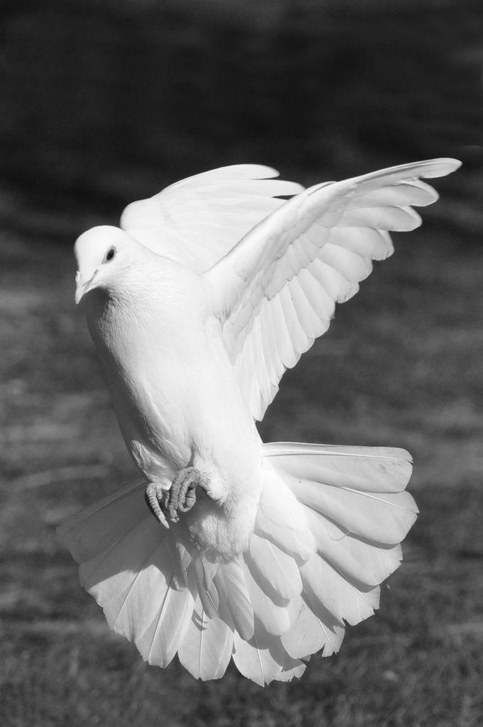 Image result for landing dove | n | White doves, Dove bird ...