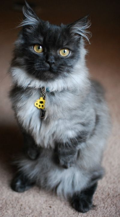 Smokey Cat Eye Makeup: 25 Best Images About Munchkin Cat On Pinterest!
