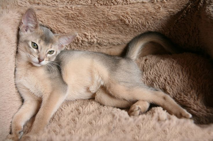 Kittens | CFA Abyssinian Cattery Abys Show Cats for Sale Breeders
