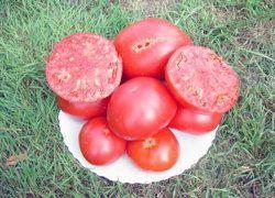 Brandywine Pink -  Tomate rose à la saveur très fine. Fruits de 500 à 900 grammes. Elle est considérée comme une des meilleures tomates. Croissance indéterminée. 80 jours.   Cette très ancienne variété de tomate est devenue le symbole de la préservation des anciennes variétés aux USA. Elle était la favorite de Ben Quisenbury qui vivait en Nouvelle-Angleterre et qui a conservé des centaines de variétés de tomates de 1910 à 1960 : il mourut à l'âge de 95 ans et il légua toutes ses variétés au…