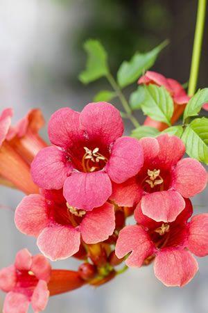 Blüten der Trompetenblume - alles zur Pflege und Vermehrung von Campsis radicans