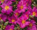Mojave® Fuchsia - Moss Rose - Portulaca grandiflora | Proven Winners