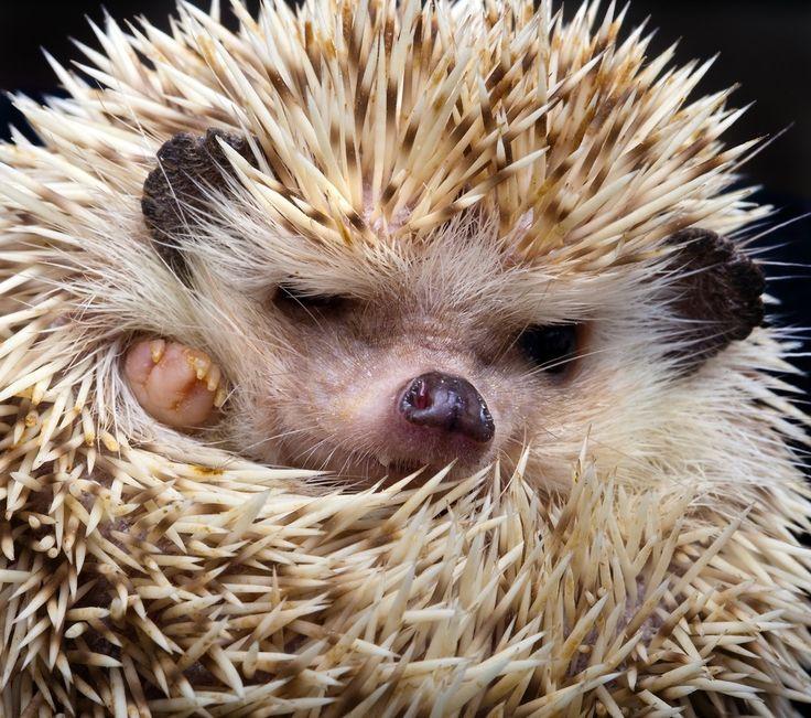 Pet Hedgehog... We love hedgehogs so much