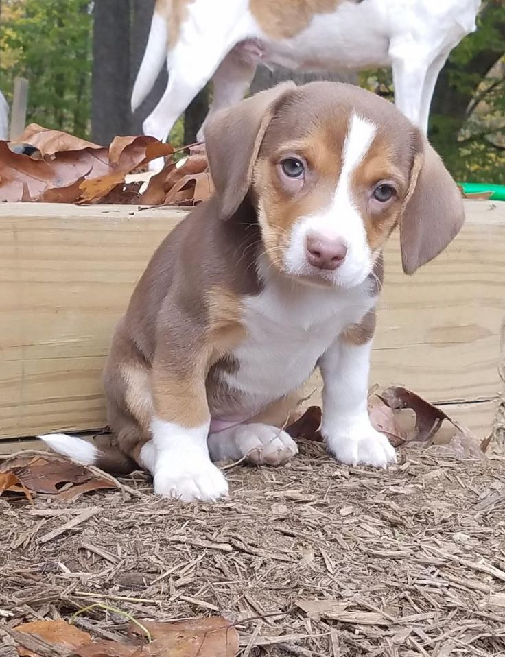Meet Polly, an adoptable Beagle looking for a forever home. If you're looking for a new pet to adopt or want information on how to get involved with adoptable pets, Petfinder.com is a great resource.