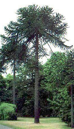 Araucaria araucana  - Désespoir du singe - Intéressant taillé comme un palmier