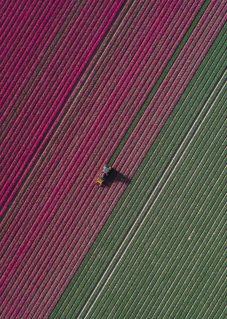 The Tulip Series