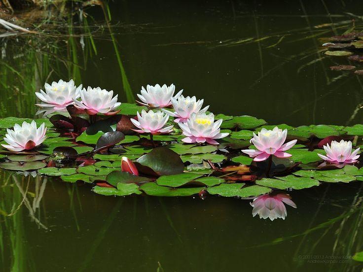 dragonfly skimming over a pond | blommor gratis skrivbordsunderlägg bild 1024 x 768 Näckrosor