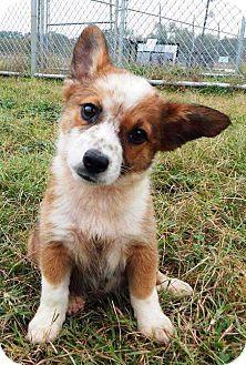 Allen, TX - Corgi Mix. Meet Spanky, a puppy for adoption. http://www.adoptapet.com/pet/16997256-allen-texas-corgi-mix