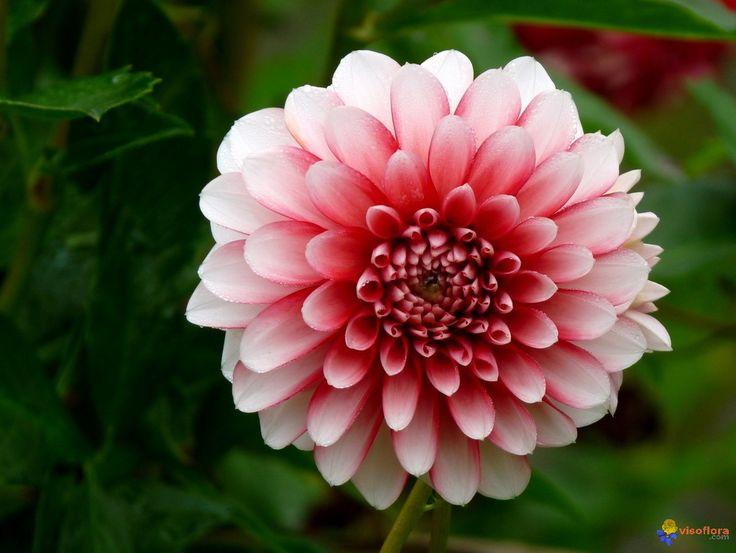 résultats de recherche d'images pour « fleur dahlia rouge