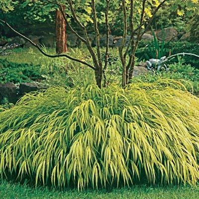 33 best images about garden wows on pinterest gardens for Can ornamental grasses grow in shade