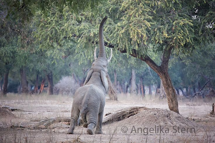 Magical Mana.  Mana Pools National Park in Zimbabwe is a magical place. This bull elephant tries to reach the acacia tree. It's very typical for this area.