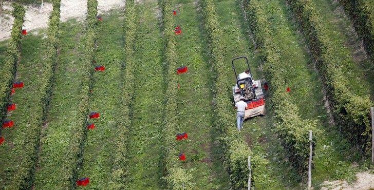 Vineyard - Piedmont