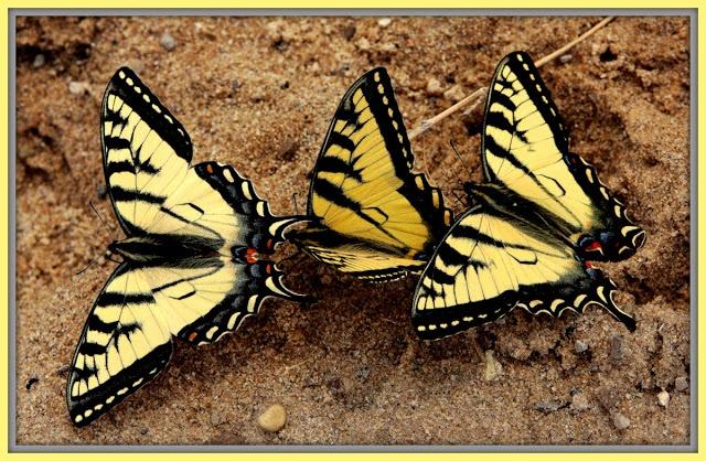 Three Tiger Swallowtails
