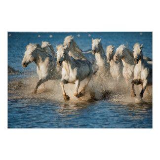 Cavalos brancos de Camargue, France Poster