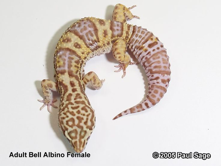 Guide to Leopard Gecko Morphs an