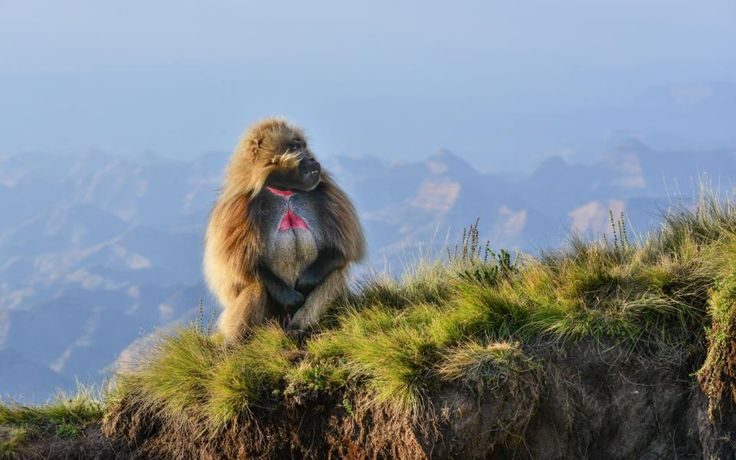 Mountains National Park, Baboon