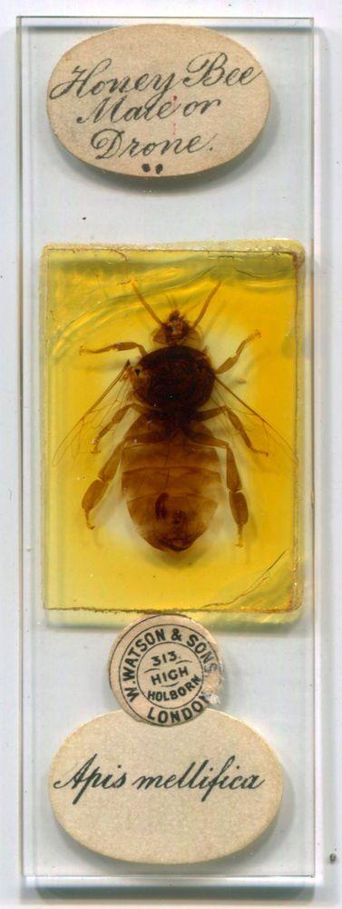 Honey Bee Microscope Slide, by Watson & Sons, ca. 1880s  | eBay