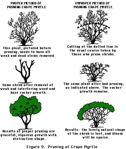 Follow Proper Pruning Techniques | Pruning of Crape Myrtle | This is the Texas A&M extension website and has lots of additional tips on pruning, training young trees and repairing wounds on trees.  Great source and reference....