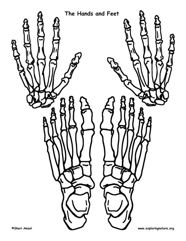 264 best projecte cos humà images on pinterest | the human body, Skeleton
