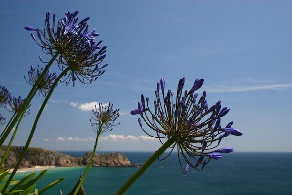 Agapanthus with coastal backdrop  #Cornwall  #flowers