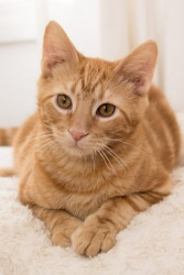 Takashi is an adoptable Tabby - Orange Cat in Chicago, IL.  Takashi and his brothers have just arrived! These top guns play hard and always shoot for the most fun possible. Theyre frisky and feisty a...