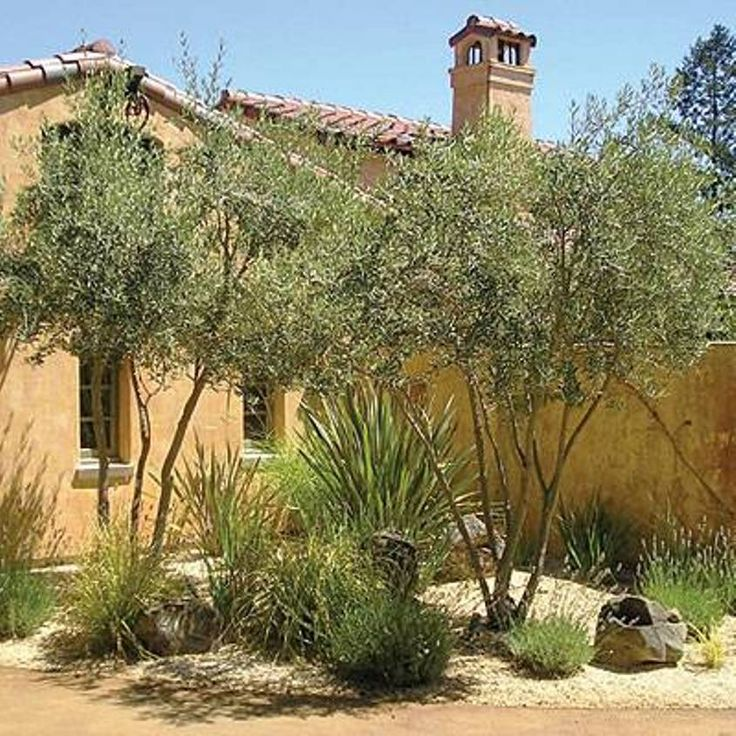 Mediterranean Style Gardens: Olive Trees Tuscan Landscape Design Plants : Options Of
