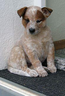 Pastor ganadero australiano -  Cachorro de color rojo.