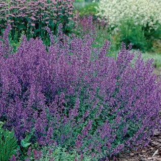 Walker's Low Catmint - such a great plant for the midwest - blooms all summer - doesn't spread - tolerates heat - LOVE it - it was Perennial of the Year in 2007 - well deserved!