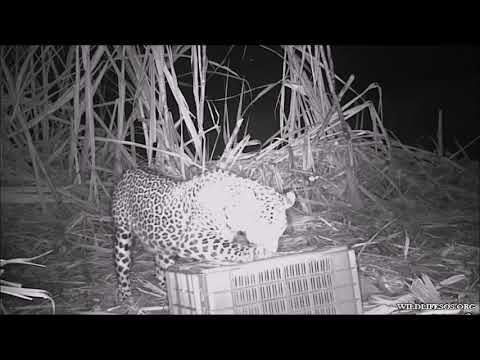Watch this heartwarming camera trap footage of the happy reunion of three #Leopard cubs, approx. 20 days old with their mother, after they were rescued from a sugarcane field in a village near Nashik by Team #WildlifeSOS from the #ManikdohLeopardRescueCentre & the Forest Department.