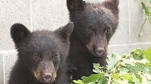 Canada, guardia forestale si rifiuta di uccidere cuccioli di orso: sospesa senza paga http://larep.it/1NXWbCs