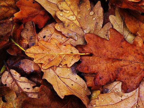 Autumn: Oak Leaves, Fall Leaves, Autumn Leaves, Autumn Fall, Fall Autumn, Raindrop, Autumn Photo, Fall Photo, Rain Drop