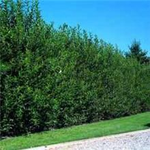 Willow Hybrid The Fastest Growing Privacy Hedge Trees You Can Plant! Need to block a large area in a hurry? The Willow Hybrid grows up to 6+ ft. a year, filling out to create a solid green wall!