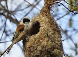 Resultado de imagen para nido  alca