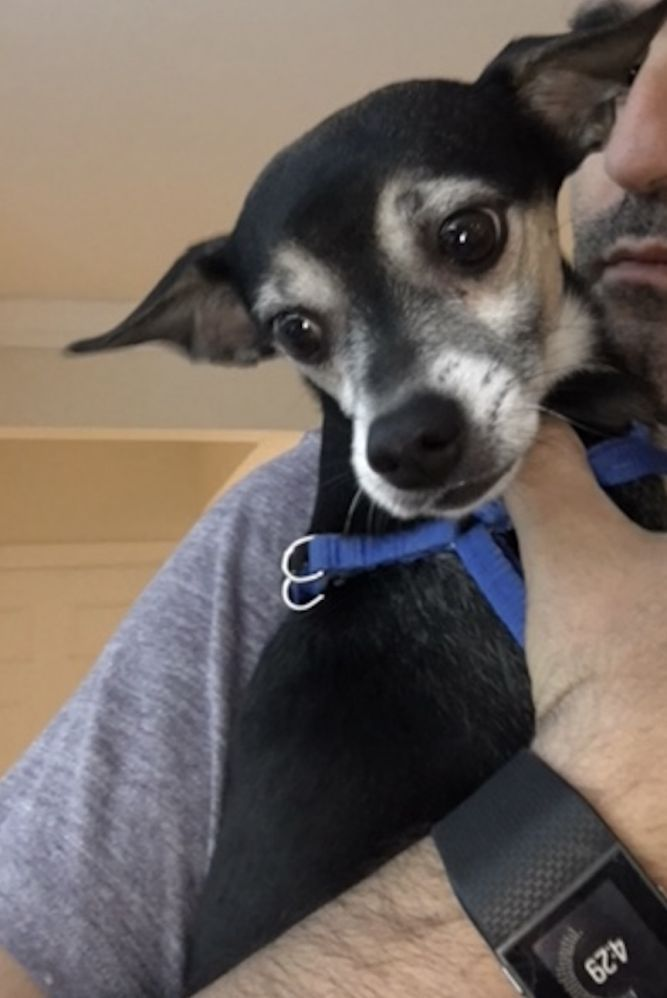 Adopt Buffy On Dogs Shelter Dogs Chihuahua Dogs