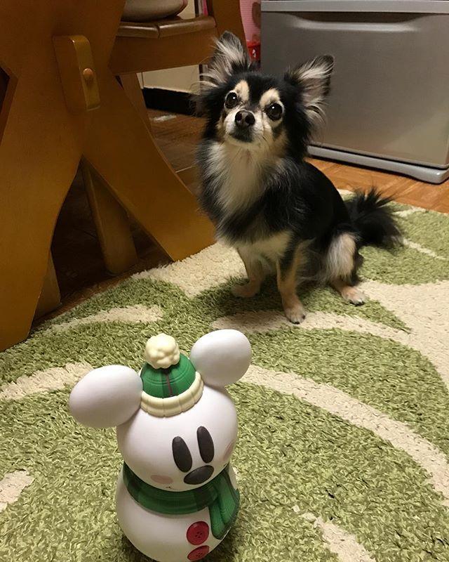 #帰省 してました #北海道 #札幌 #愛犬 #チワワ #ゆず #大好き #遠距離恋愛 #walk #instahub #photoftheday #webstagram #instagramhub #instadayly #instagood #pictureoftheday  #japan  #ig_japan #gf_japan #ig_nihon #icu_japan #ig_japanese #loves_nippon #wu_japan #IGersjp #wow_nihon #jp_gallery