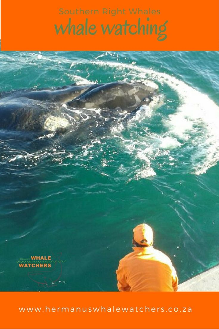 Hermanus in South Africa is well know for the best whale watching in the world. By land , by sea and from the air.