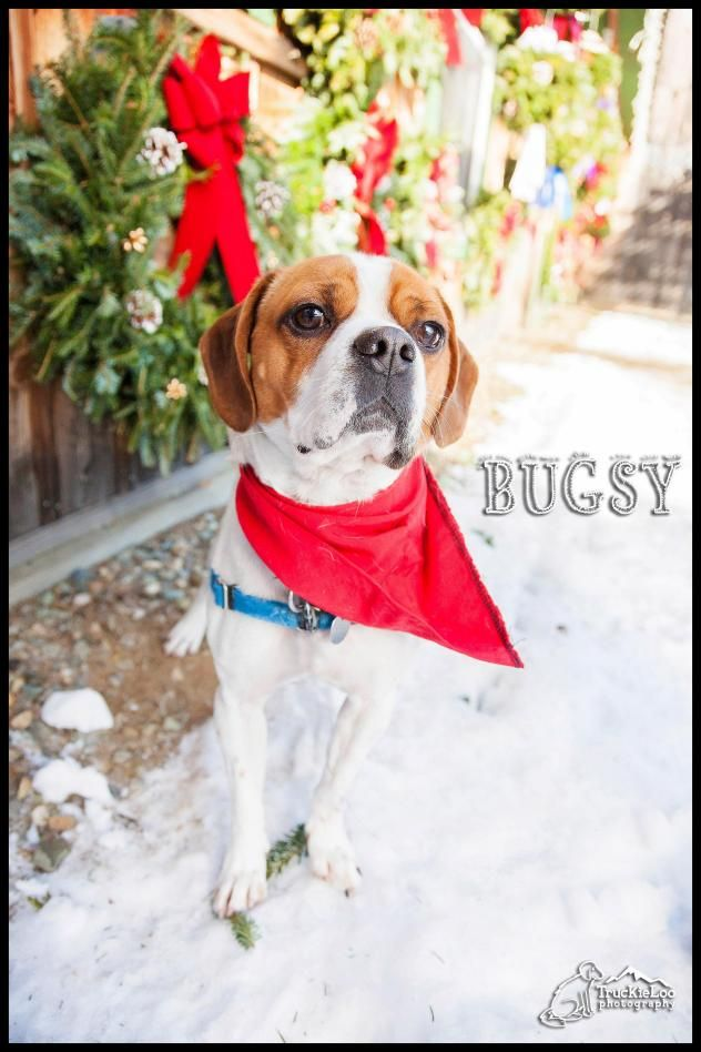 BugsyPug Mix & Beagle • Young • Male • Small North Country Animal League Morrisville, VT  He loves going for walks, playing with his toys and learning new tricks! He is a special guy who is looking for a very special home...