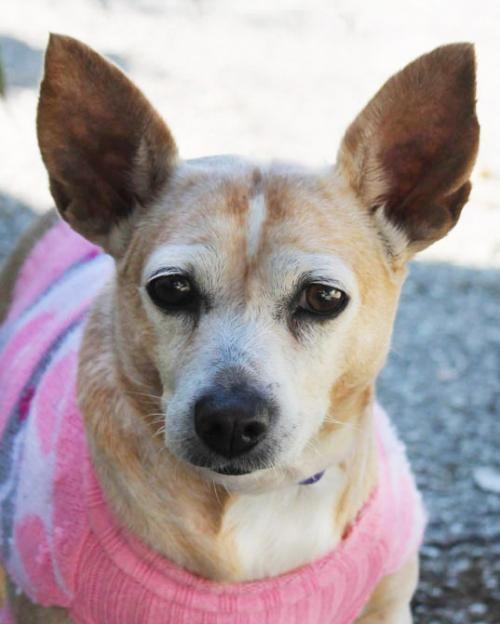 Tequila - Welsh Corgi/Chihuahua Mix - Female - 10 yrs old - Animal Defense League of Texas - San Antonio, TX.