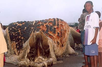 Villagers were pictured looking on in amazement when the partially-decomposed thing was found washed up in Guinea last year.  It had four paws, a tail, long fur and a big, fat blubbery body. Marine scientists who examined the creature said they still have no clue what to call the beast.