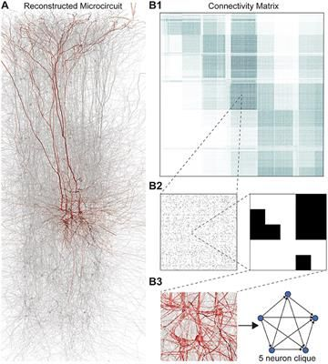 The lack of a formal link between neural network structure and its emergent function has hampered our understanding of how the brain processes information. We have now come closer to describing such a link by taking the direction of synaptic transmission into account, constructing graphs of a network that reflect the direction of information flow, and analyzing these directed graphs using algebraic topology. Applying this approach to a local network of neurons in the neocortex revealed a…