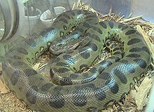 The Green Anaconda is one of the world's longest snakes, reaching more than 6.6 m (22 ft) long.  Although the reticulated python is longer, the anaconda is the heaviest snake. The longest (and heaviest) scientifically recorded specimen was a female measuring 521 cm (17 ft 1 in) long and weighing 97.5 kilograms (215 lb).[5]